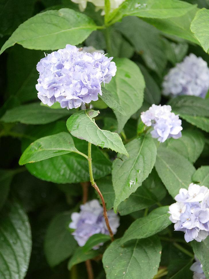 伊予獅子てまり(山アジサイ)の花が綺麗に咲いた。2021年-014.jpg