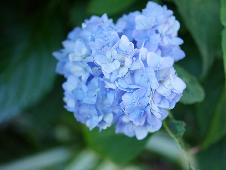 伊予獅子てまり(山アジサイ)の花が綺麗に咲いた。2021年-025.jpg