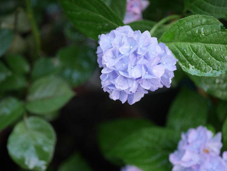 伊予獅子てまり(山アジサイ)の花が良い感じになった。2020年-003.jpg