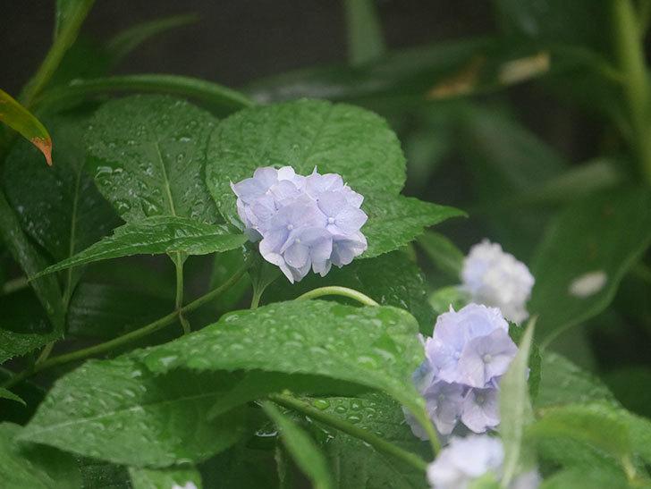 伊予獅子てまり(山アジサイ)の花が良い感じになった。2020年-006.jpg