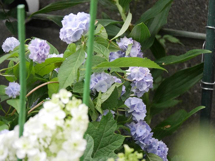 伊予獅子てまり(山アジサイ)の花が良い感じになった。2020年-008.jpg