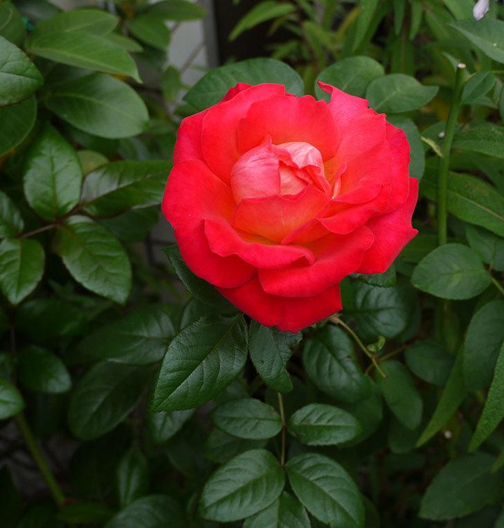 光彩(木立バラ)に4個目の秋花が咲いた。2016年-1.jpg
