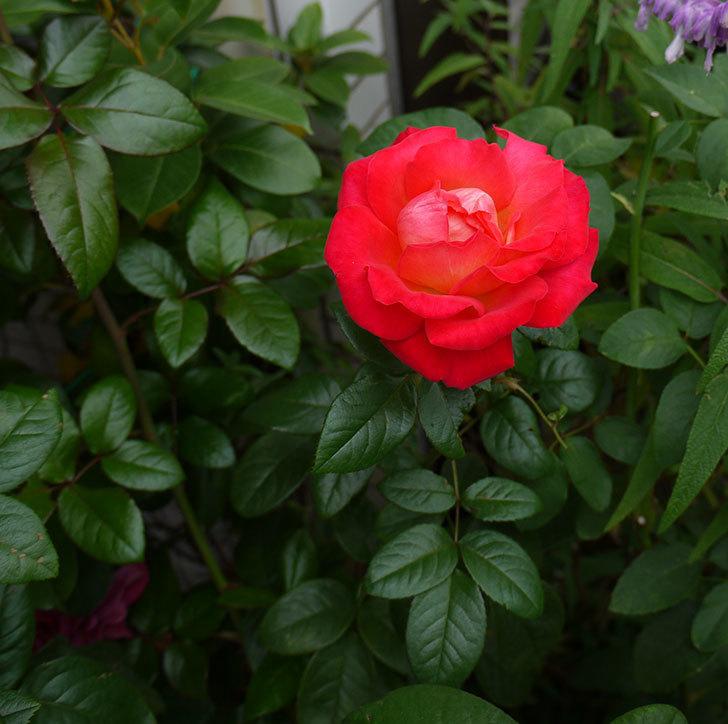 光彩(木立バラ)に4個目の秋花が咲いた。2016年-3.jpg