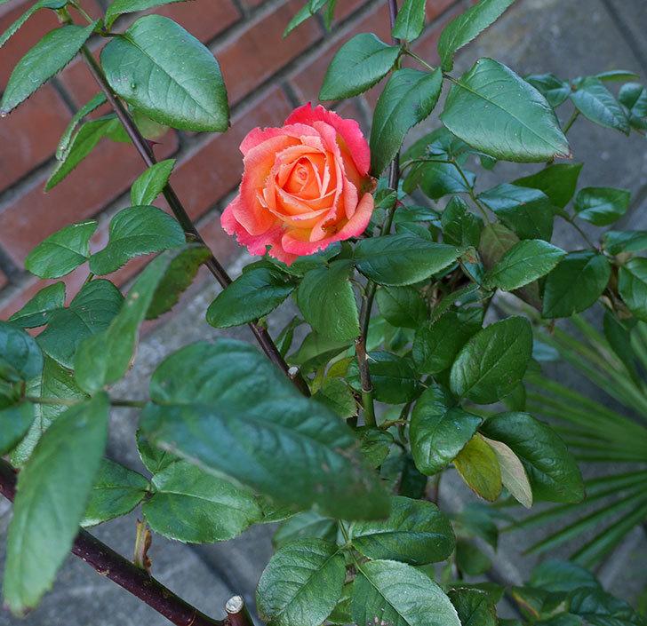 光彩(木立バラ)にオレンジの花が咲いた。2017年-2.jpg