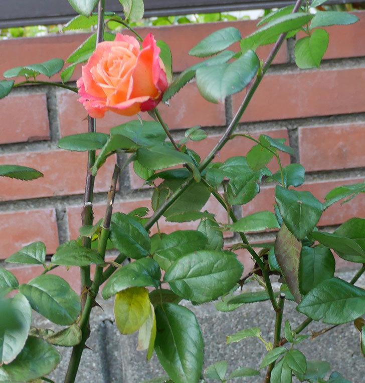 光彩(木立バラ)にオレンジの花が咲いた。2017年-3.jpg