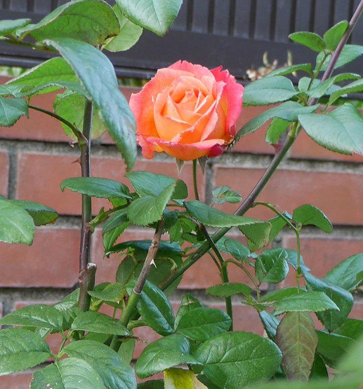 光彩(木立バラ)にオレンジの花が咲いた。2017年-4.jpg