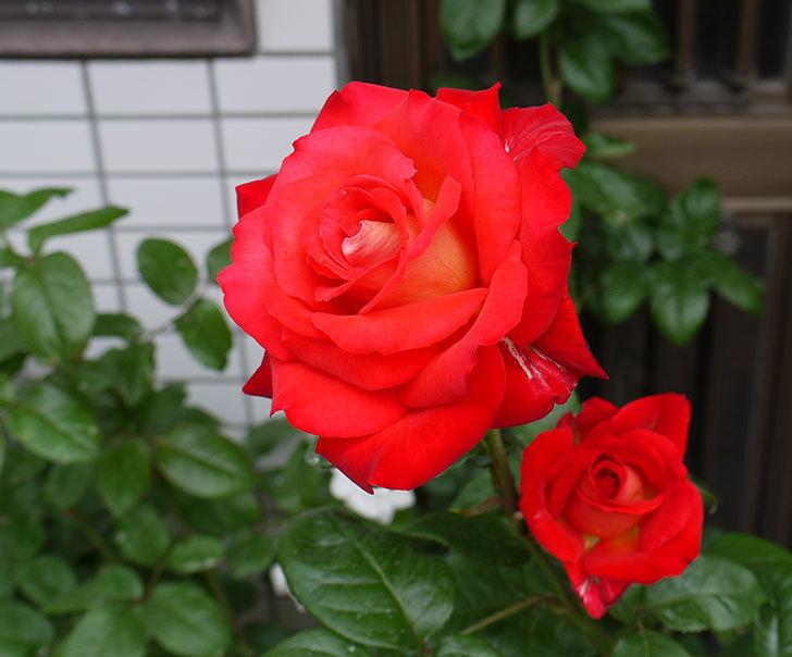 光彩(木立バラ)の2番花が3個咲いた。2016年-1.jpg
