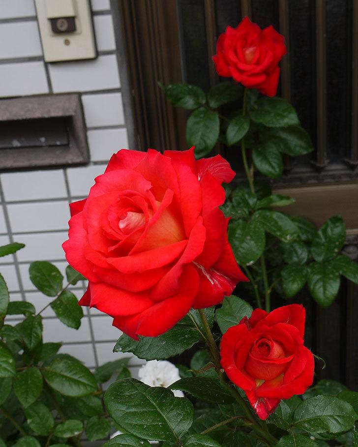 光彩(木立バラ)の2番花が3個咲いた。2016年-2.jpg