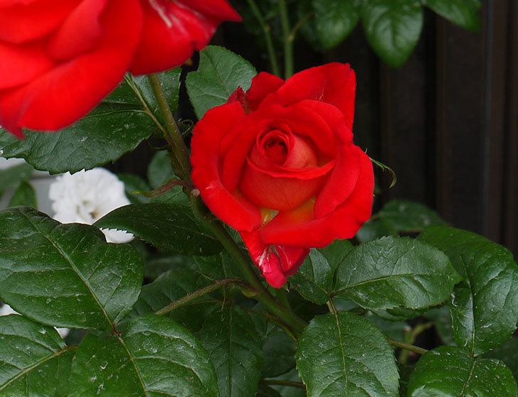 光彩(木立バラ)の2番花が3個咲いた。2016年-4.jpg
