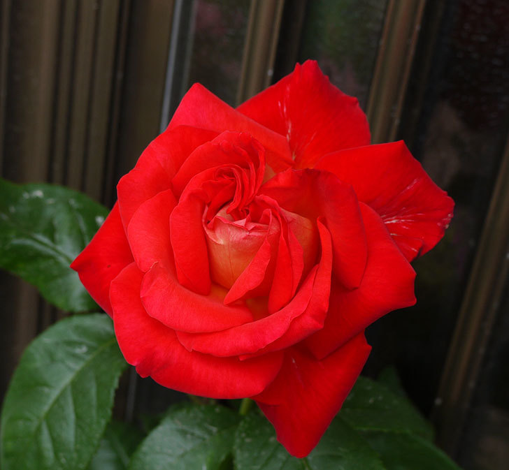 光彩(木立バラ)の2番花が3個咲いた。2016年-5.jpg