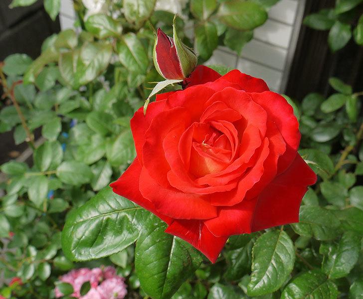 光彩(木立バラ)の2番花が咲いた。2016年-1.jpg