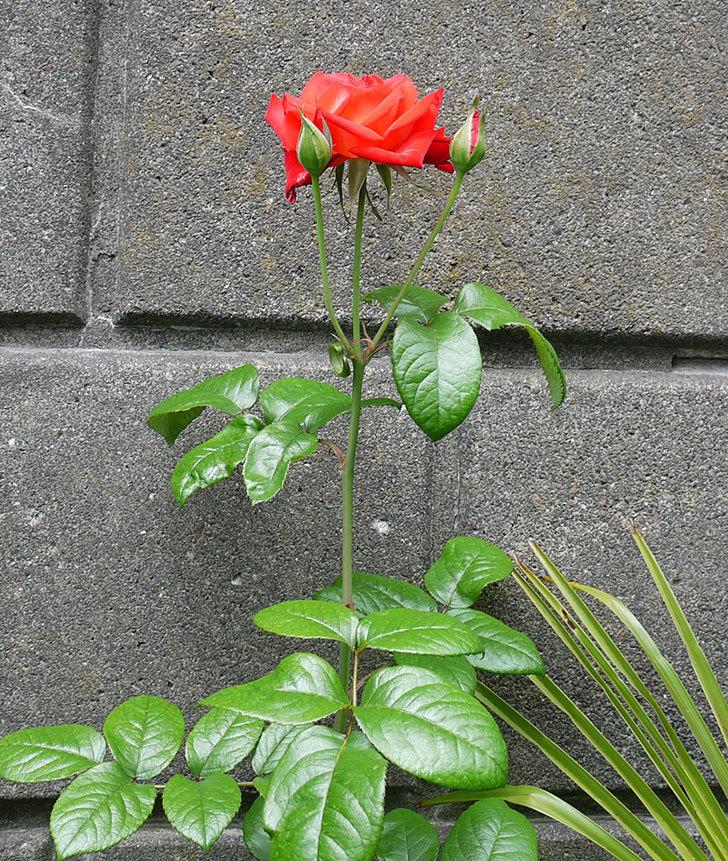 光彩(木立バラ)の2番花が咲いた。2017年-4.jpg