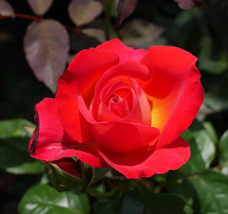 光彩(木立バラ)の2番花が咲いた。2018年-1.jpg
