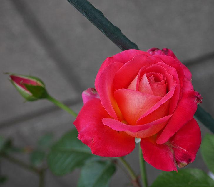 光彩(木立バラ)の2番花が咲いた。2019年-1.jpg