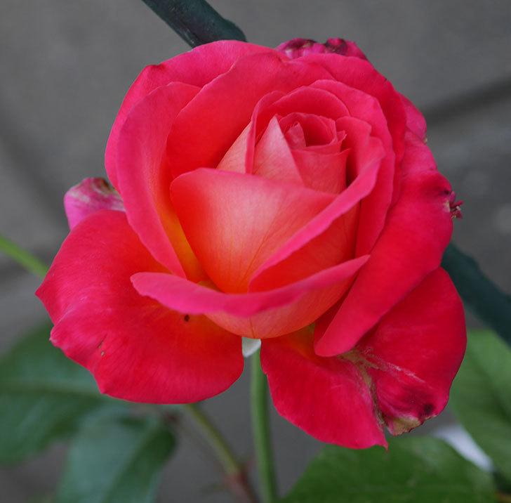 光彩(木立バラ)の2番花が咲いた。2019年-2.jpg