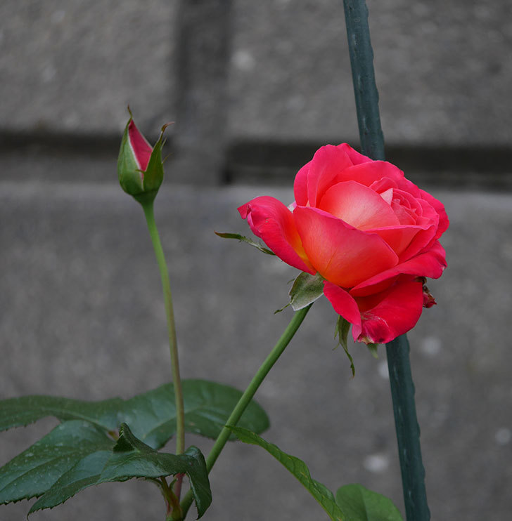 光彩(木立バラ)の2番花が咲いた。2019年-3.jpg