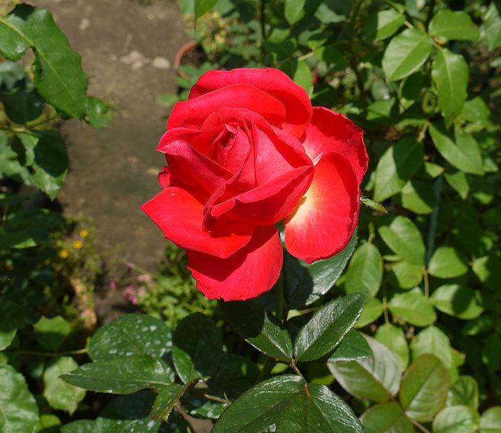 光彩(木立バラ)の3番花がまた咲いた。2016年-1.jpg