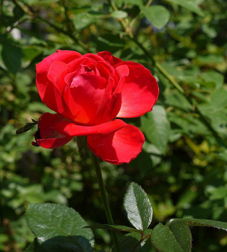 光彩(木立バラ)の3番花がまた咲いた。2016年-4.jpg