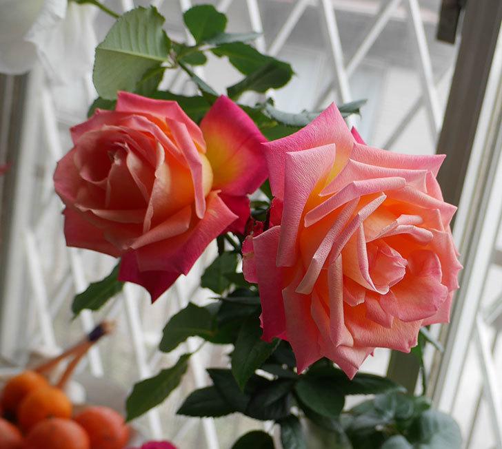 光彩(木立バラ)の切り花がオレンジになってきた。2018年-1.jpg
