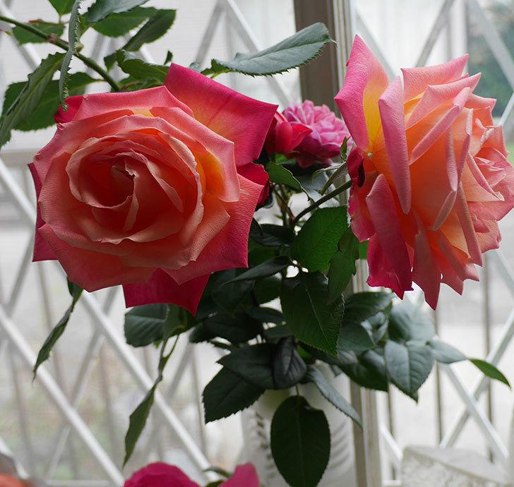 光彩(木立バラ)の切り花がオレンジになってきた。2018年-5.jpg