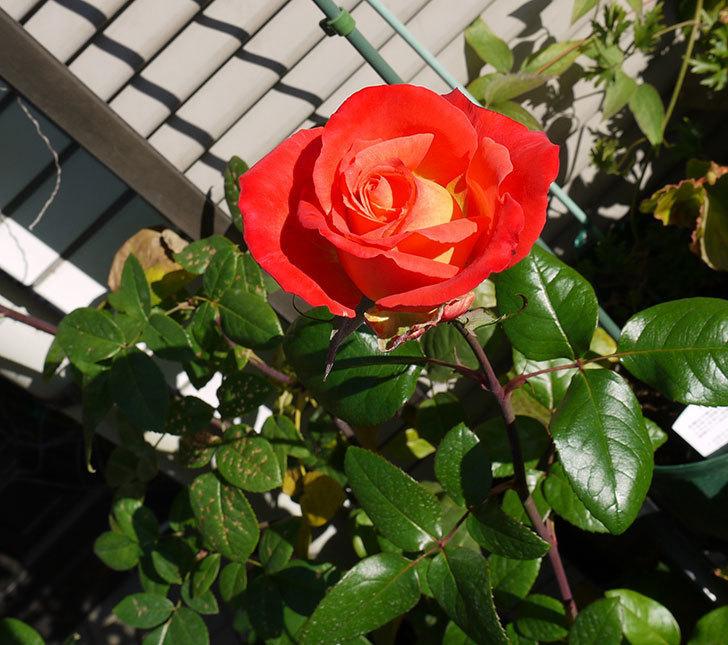 光彩(木立バラ)の最後の秋花が咲いた。2016年-1.jpg