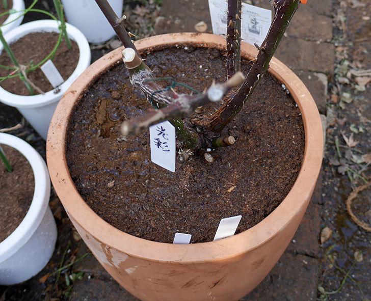 光彩(木立バラ)の植え替えした。2018年-9.jpg