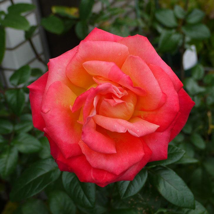 光彩(木立バラ)の秋花が何時もと違う感じでいい。2016年-2.jpg