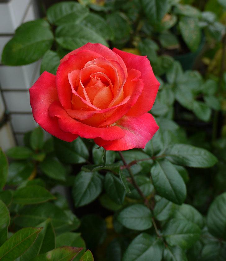 光彩(木立バラ)の秋花が何時もと違う感じでいい。2016年-4.jpg