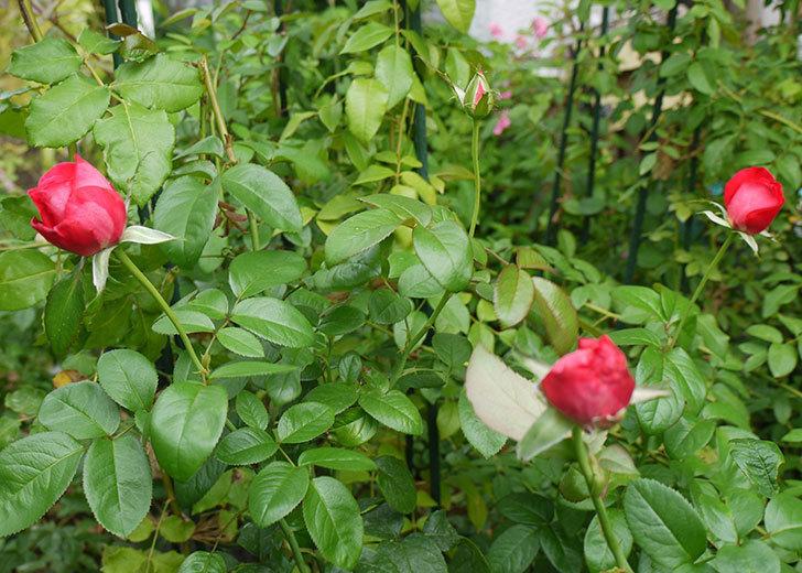 光彩(木立バラ)の花が3個咲いた。2016年-4.jpg