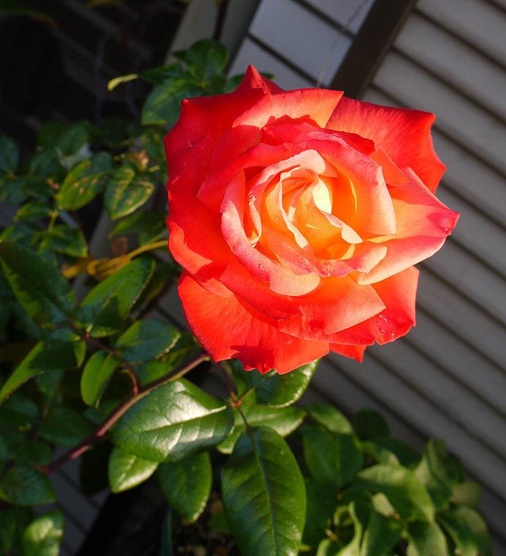 光彩(木立バラ)の花がオレンジで咲いた。2016年-1.jpg