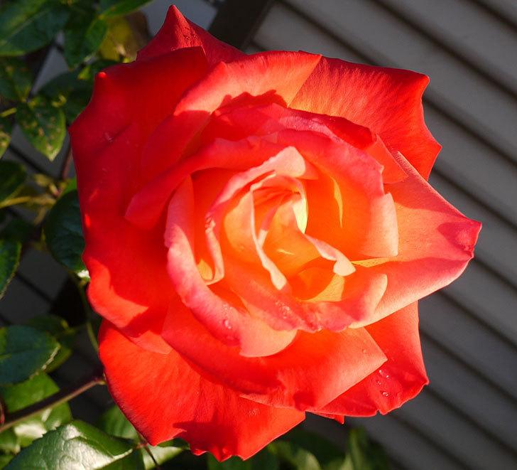 光彩(木立バラ)の花がオレンジで咲いた。2016年-2.jpg