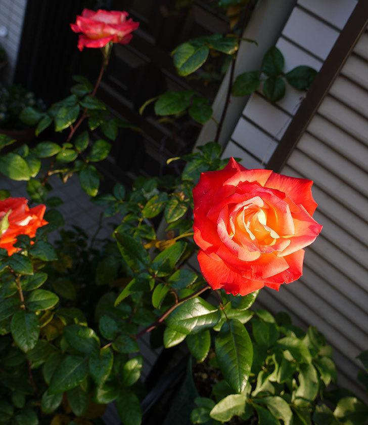 光彩(木立バラ)の花がオレンジで咲いた。2016年-3.jpg