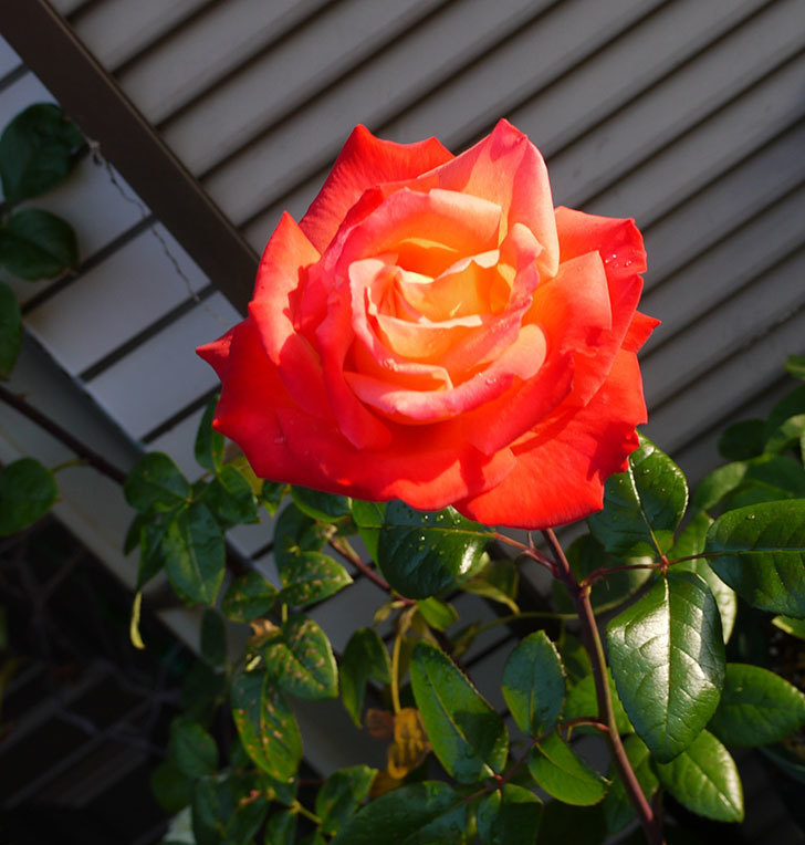 光彩(木立バラ)の花がオレンジで咲いた。2016年-4.jpg
