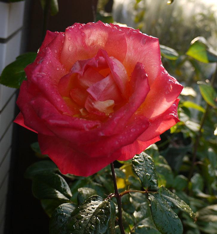 光彩(木立バラ)の花がオレンジで咲いた。2016年-5.jpg