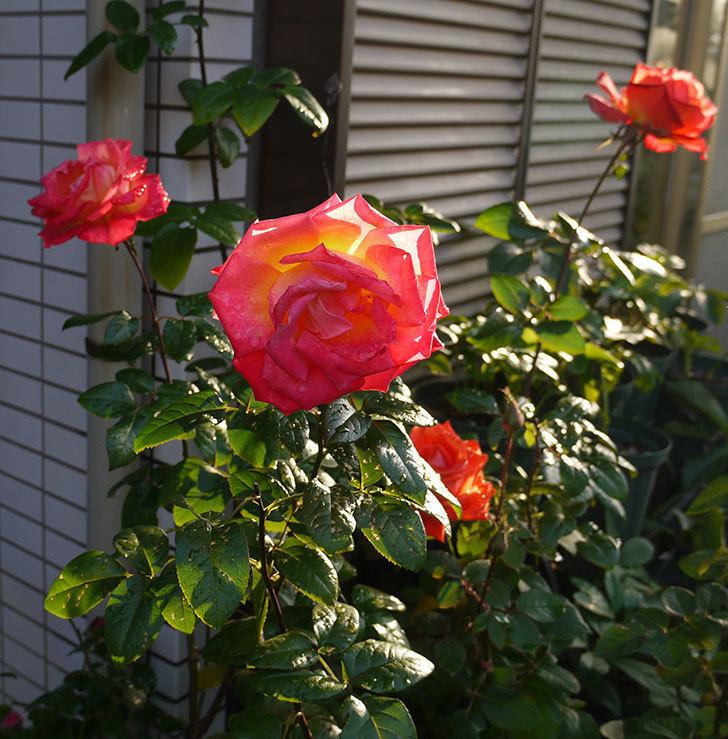 光彩(木立バラ)の花がオレンジで咲いた。2016年-6.jpg