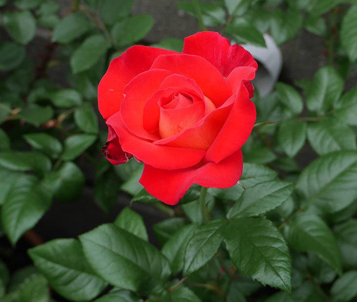 光彩(木立バラ)の花が咲いた。2018年-1.jpg