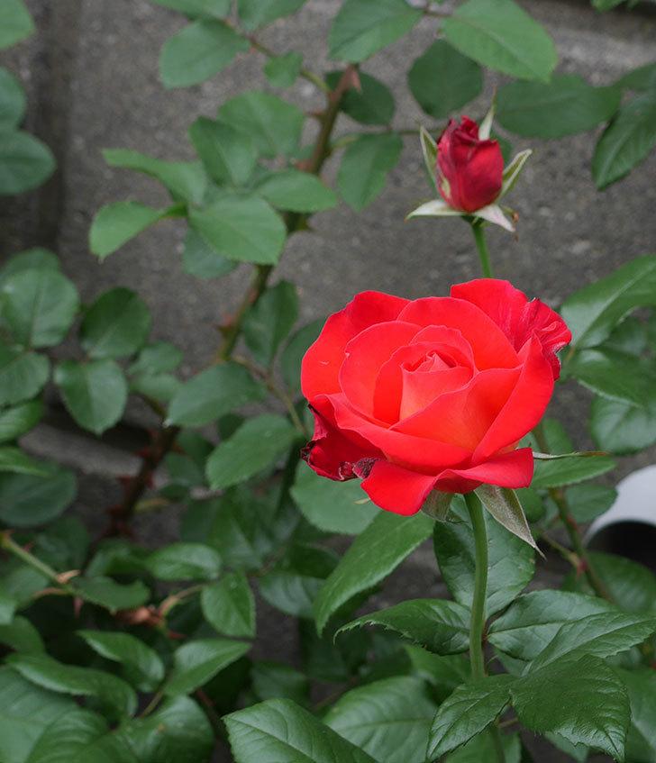 光彩(木立バラ)の花が咲いた。2018年-2.jpg