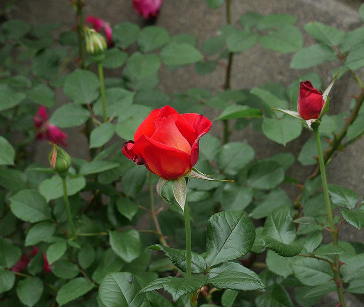 光彩(木立バラ)の花が咲いた。2018年-6.jpg
