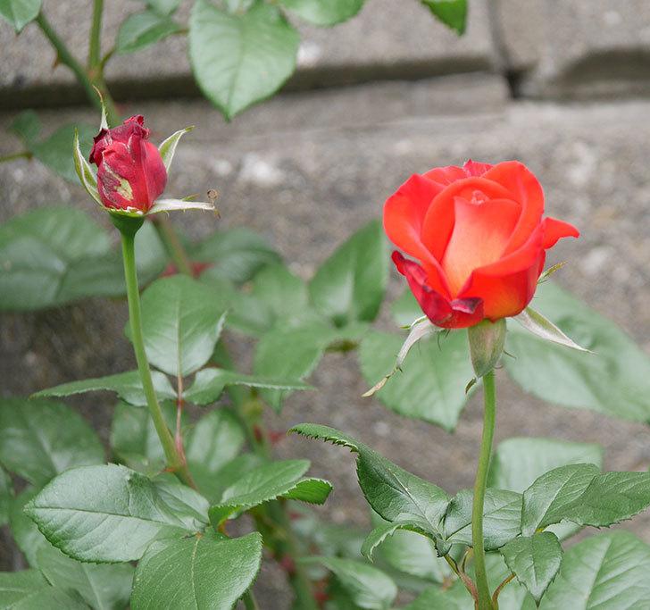 光彩(木立バラ)の花が咲いた。2018年-7.jpg