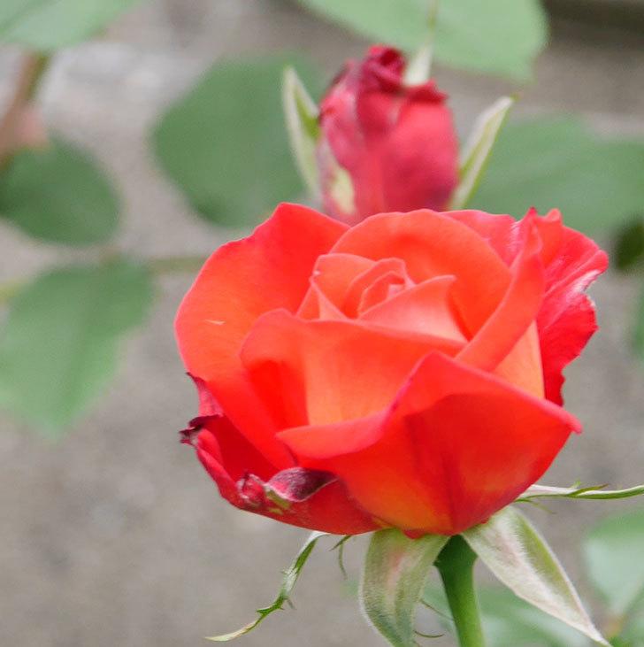 光彩(木立バラ)の花が咲いた。2018年-8.jpg