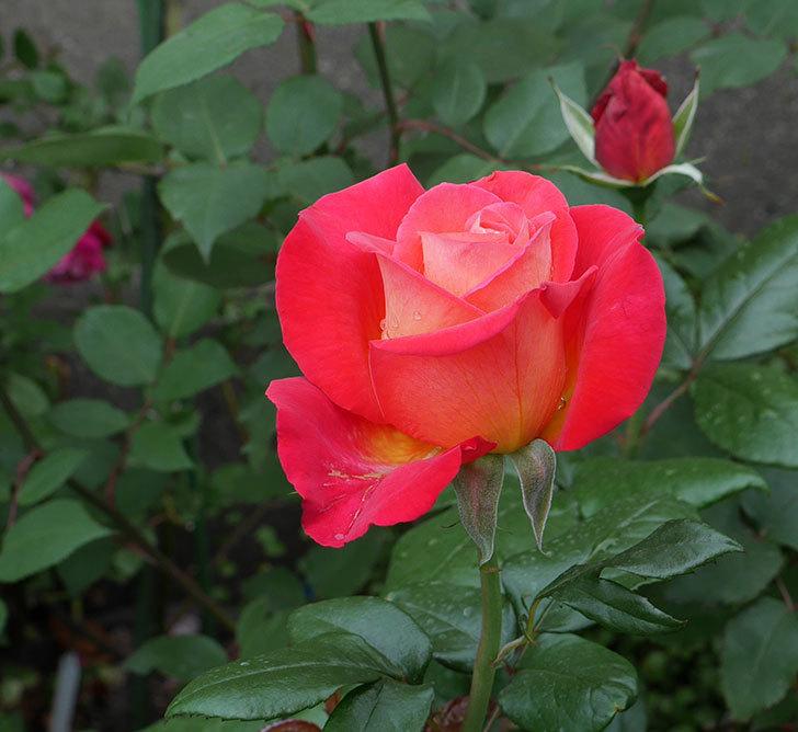 光彩(木立バラ)の花が咲いた。2019年-1.jpg