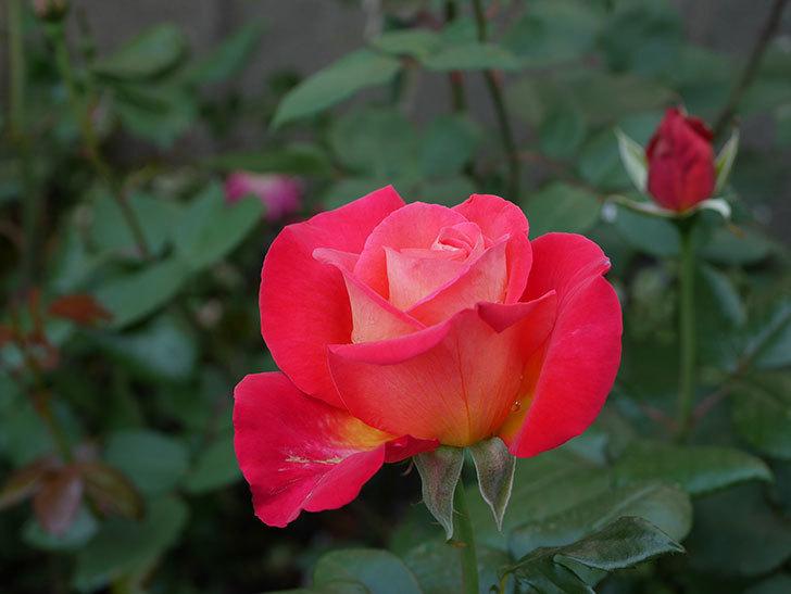 光彩(木立バラ)の花が咲いた。2019年-3.jpg
