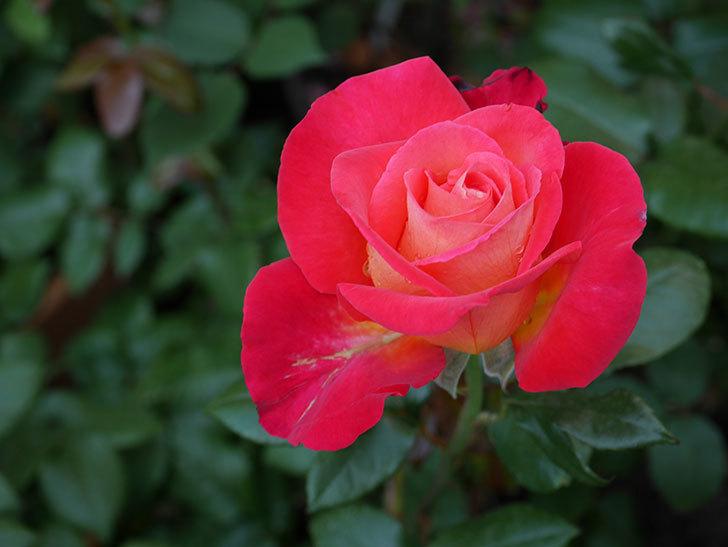 光彩(木立バラ)の花が咲いた。2019年-5.jpg