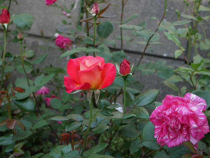光彩(木立バラ)の花が咲いた。2019年-6.jpg