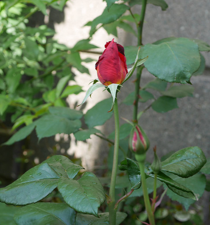 光彩(木立バラ)の花が咲いた。2019年-7.jpg