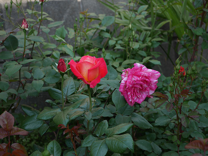 光彩(木立バラ)の花が咲いた。2019年-8.jpg