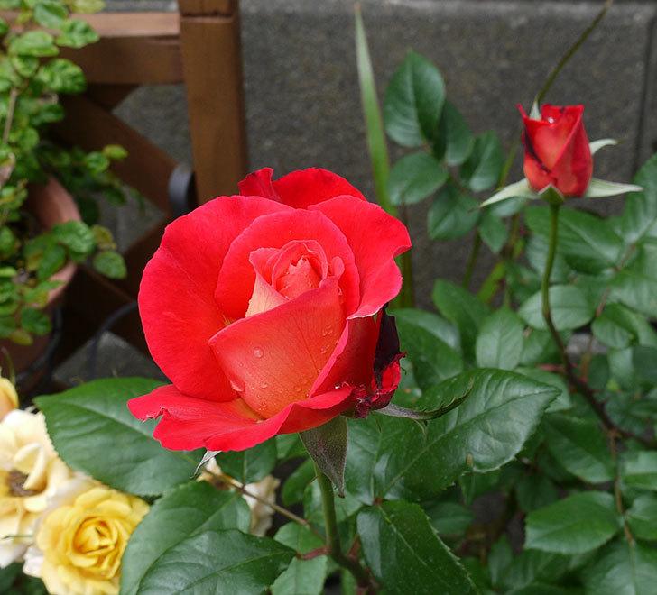 光彩(木立バラ)の花が咲きだした。2017年-1.jpg