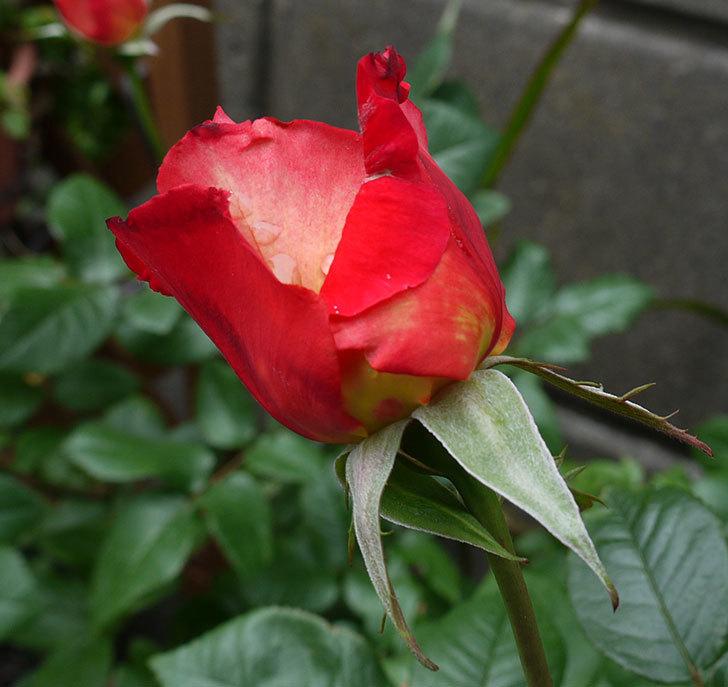光彩(木立バラ)の花が咲きだした。2017年-4.jpg
