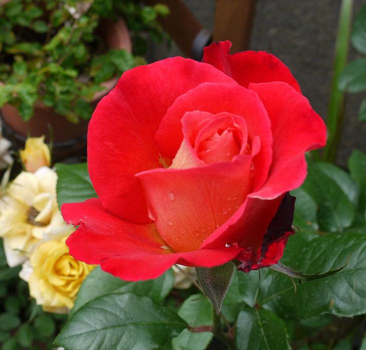 光彩(木立バラ)の花が咲きだした。2017年-5.jpg