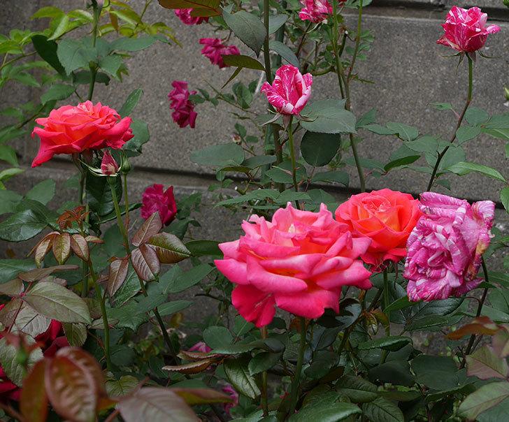 光彩(木立バラ)の花が増えてきた。2019年-1.jpg